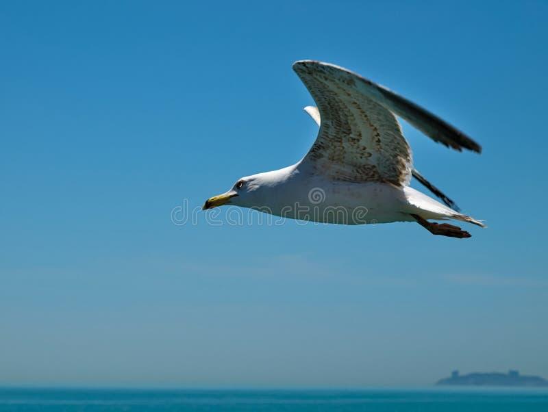 Fine di volo del gabbiano su contro il fondo del cielo e del mare Isole di principe, Turchia immagini stock