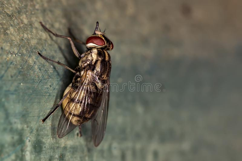 Fine domestica di estremo della mosca sulla foto - piloti la foto di macro dell'occhi rossi fotografie stock