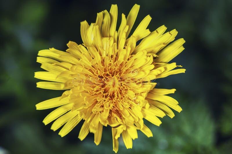 Fine fresca del fiore del dente di leone su fotografie stock libere da diritti