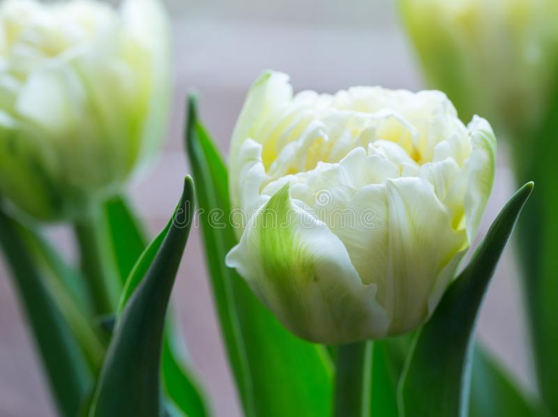Fine gialla corrugata del tulipano su fotografia stock libera da diritti