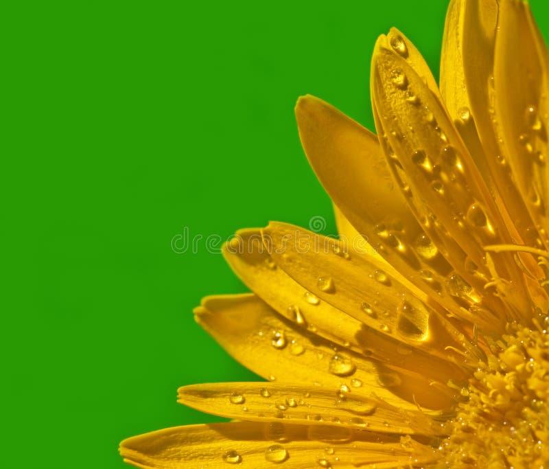Fine gialla del fiore del Gerbera in su immagine stock libera da diritti