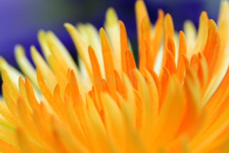 Fine gialla del fiore in su fotografia stock