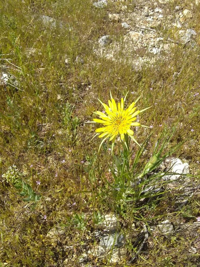 Fine gialla del fiore su erba gialla immagini stock libere da diritti