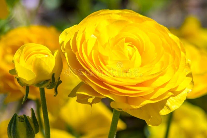 Fine gialla del fiore in su fotografie stock