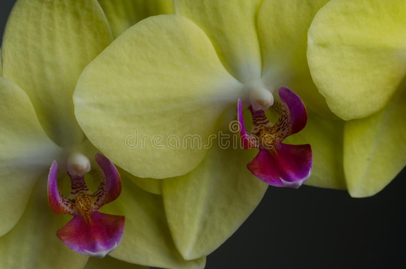 Fine gialla dell'orchidea in su immagini stock