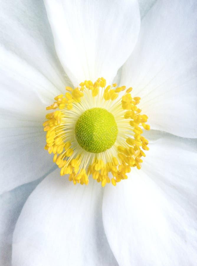 Fine giapponese dell'anemone su immagine stock