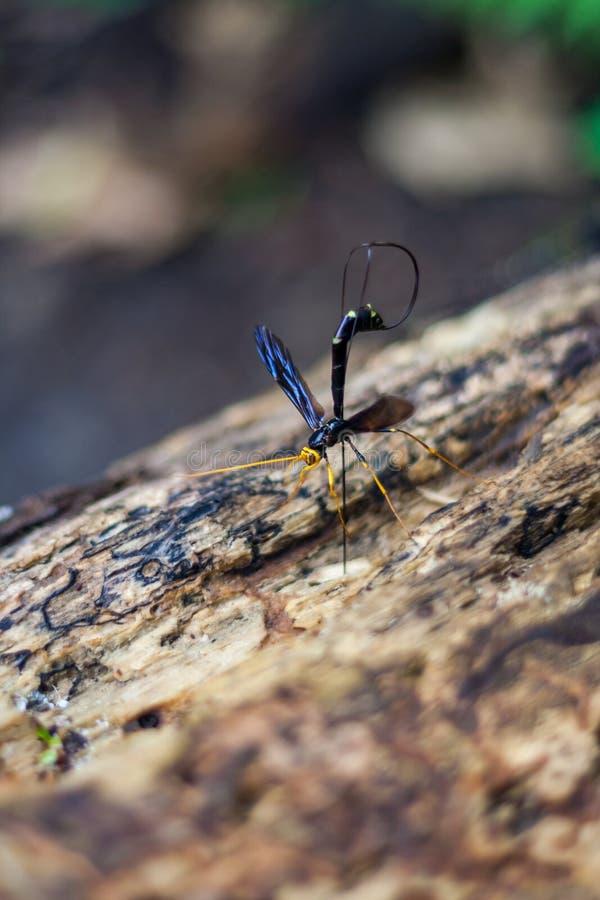 Fine gigante della vespa del Ichneumon su sul ceppo fotografia stock libera da diritti