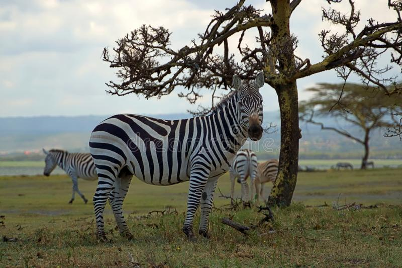 A fine grained zebra standing on the grass at Crescent Island Game Sanctuary stock image