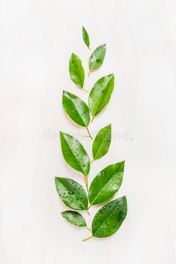 Fine green leaves arranged in branch with water drops on white wooden background, top view. royalty free stock image