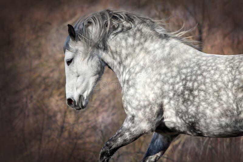 Fine grigia del cavallo su fotografia stock