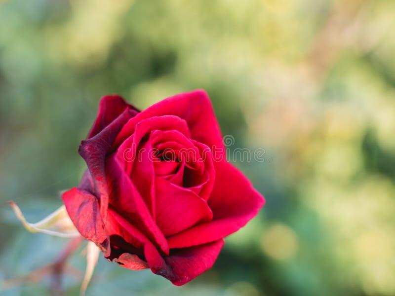Fine incantante del fiore della rosa rossa su fotografia stock