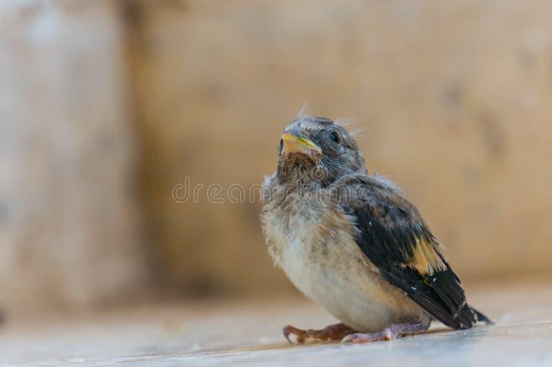 Fine indifesa del pulcino del passero su Foto con il posto per testo fotografia stock