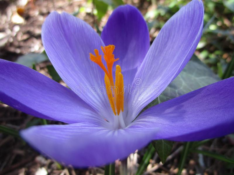 Fine iniziale di porpora del croco della molla e del fiore bianco su immagine stock
