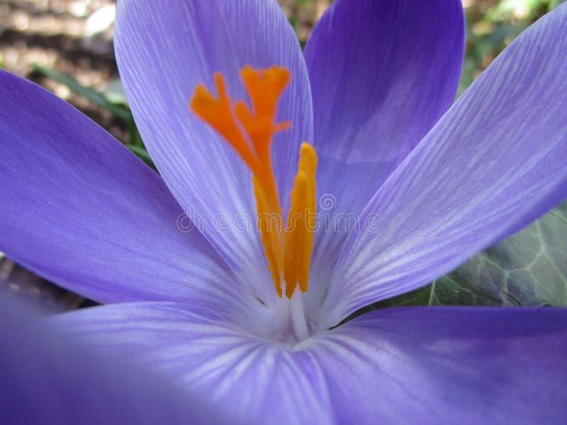 Fine iniziale di porpora del croco della molla e del fiore bianco su fotografie stock