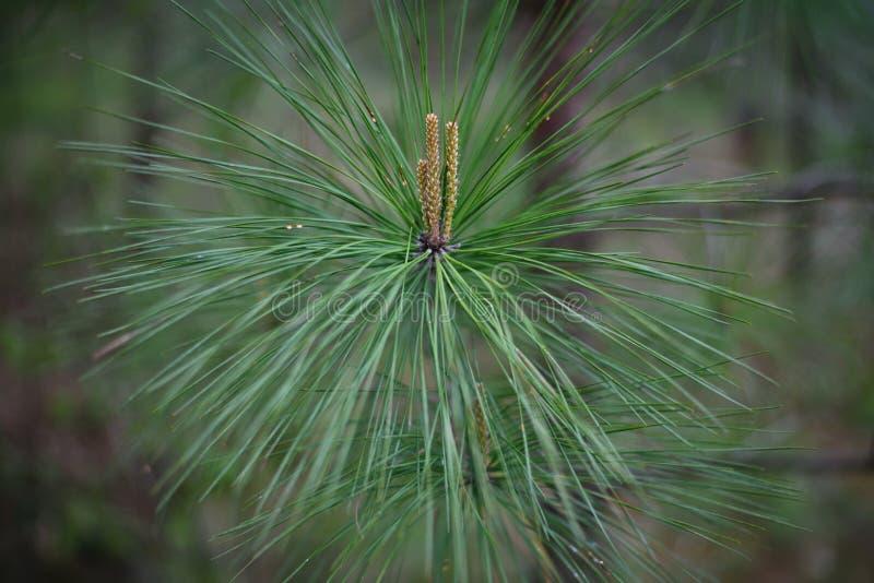 fine lunga del pino della foglia del ` del piner del ` sulla foto con le pigne germoglianti immagini stock libere da diritti