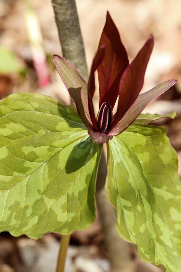 Fine marrone rossiccio di rosso di tempo di primavera/del fiore selvaggio su immagini stock libere da diritti