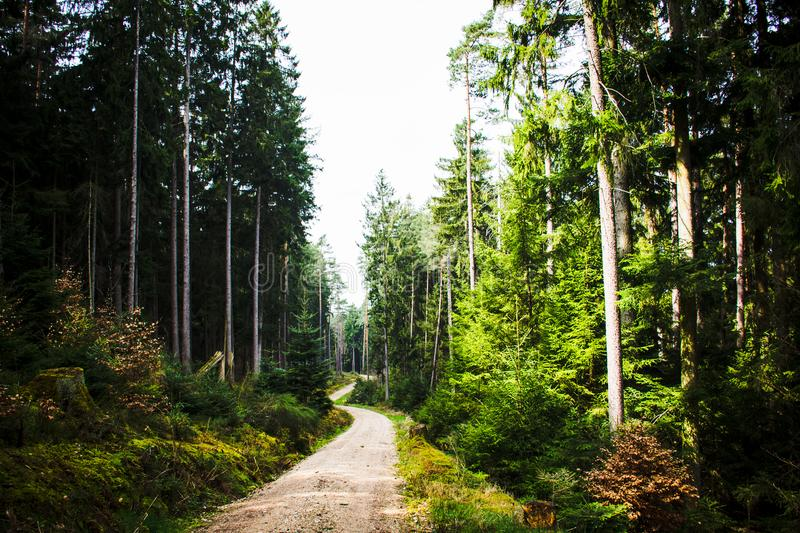 Fine morning. forest in Bavaria. on a mountaintop. tall tree. absence of people. absolute silence. Road in the forest. great forest. quiet road. absence of stock photo