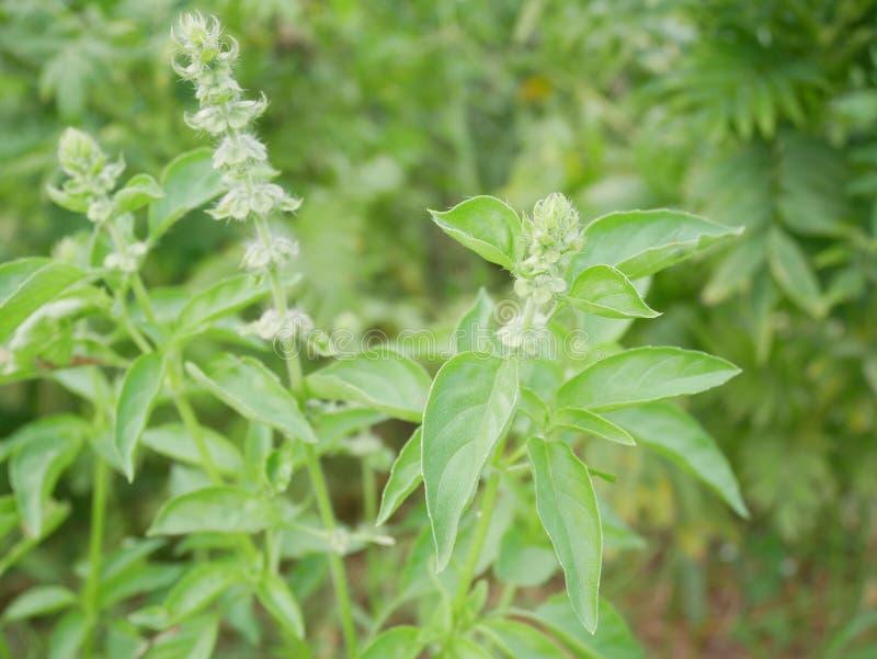 Fine pelosa del fiore del basilico su Pianta fragrante specifica per alimento tailandese fotografia stock