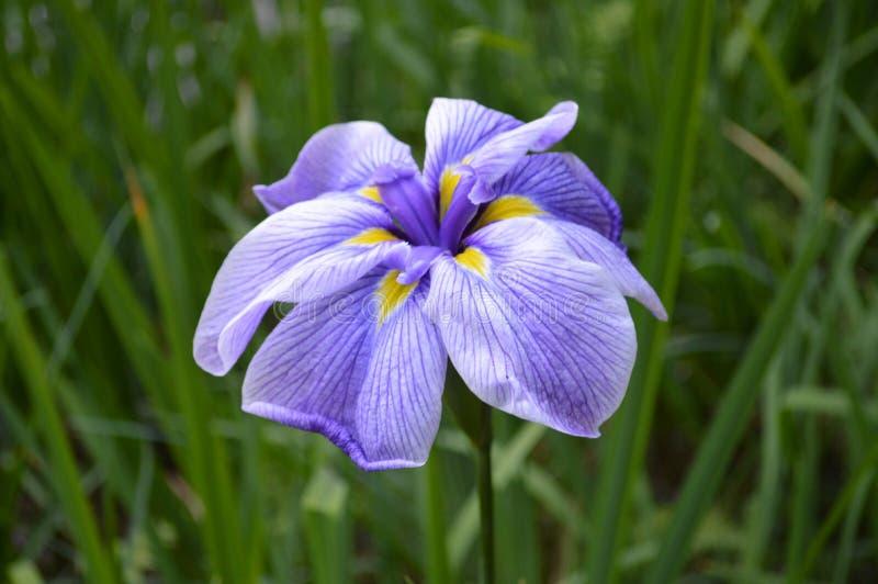 Fine porpora del fiore dello stagno su immagini stock libere da diritti