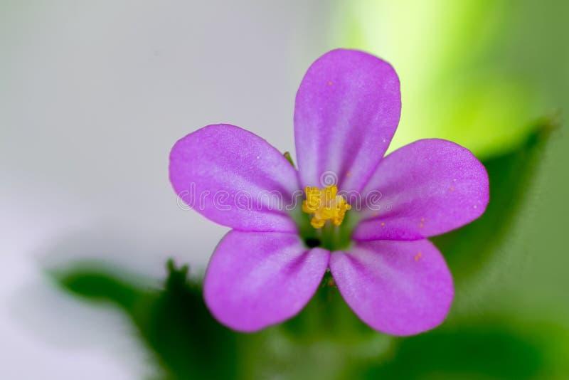 Fine porpora e gialla di macro del fiore su fotografie stock