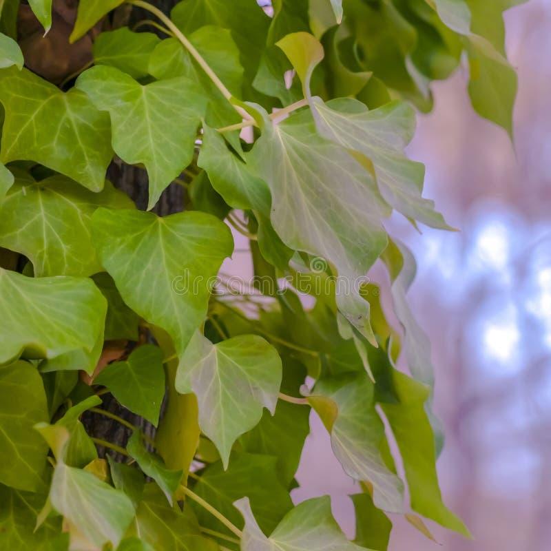 Fine quadrata sul punto di vista della vite fertile che prospera intorno al tronco marrone di un albero immagini stock