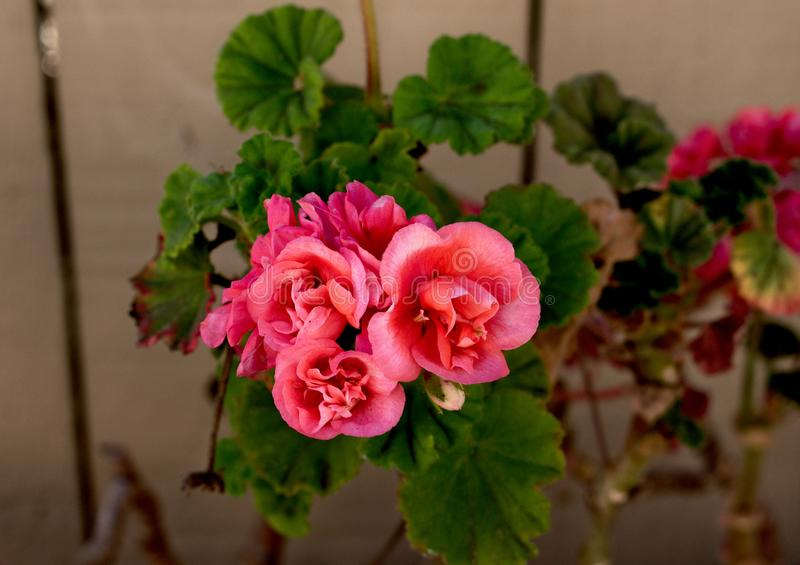 Fine rosa adorabile del fiore su fotografia stock