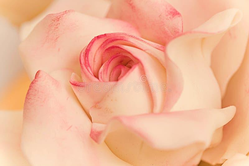 Fine rosa del fondente dello zucchero sulla carta da parati fotografie stock libere da diritti