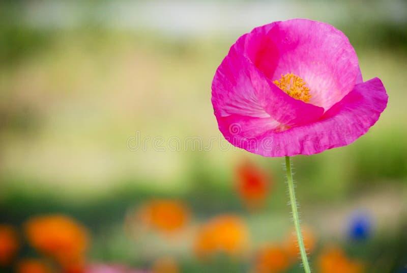 Fine rosa del papavero su immagine stock libera da diritti