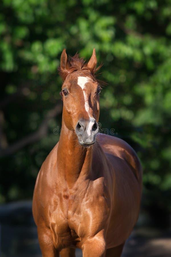Fine rossa del cavallo su fotografia stock libera da diritti