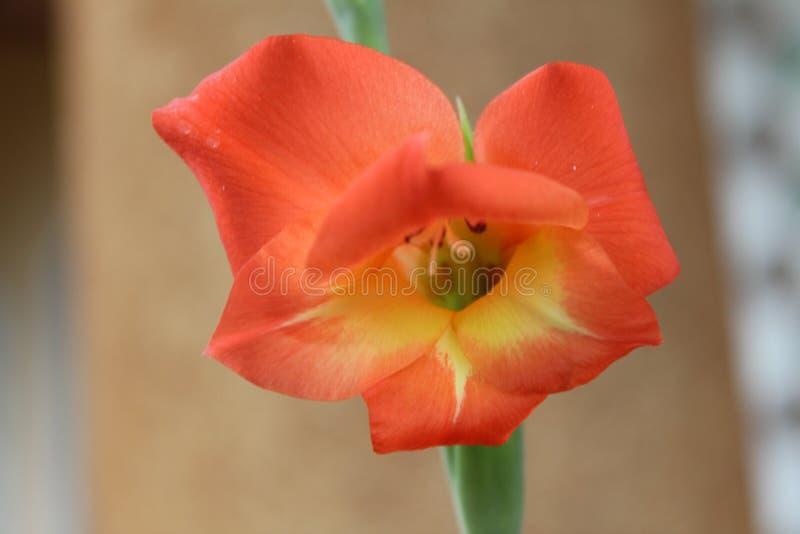 Fine rossa del fiore su immagini stock libere da diritti