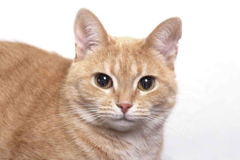 Fine rossa del ritratto del gatto fotografia stock