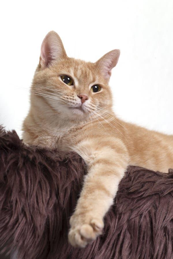Fine rossa del ritratto del gatto fotografia stock libera da diritti