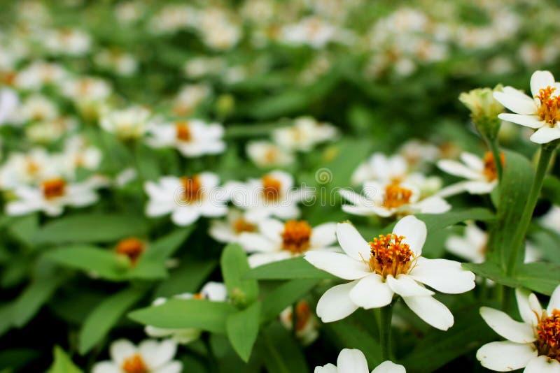 Fine selettiva sui colori bianchi o gialli di piccola fioritura del fiore di zinnia elegans sul fondo delle foglie verdi immagini stock libere da diritti