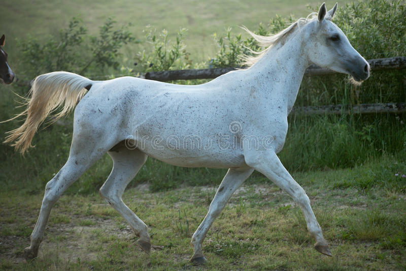 Fine shoot of spotted white steed royalty free stock photography