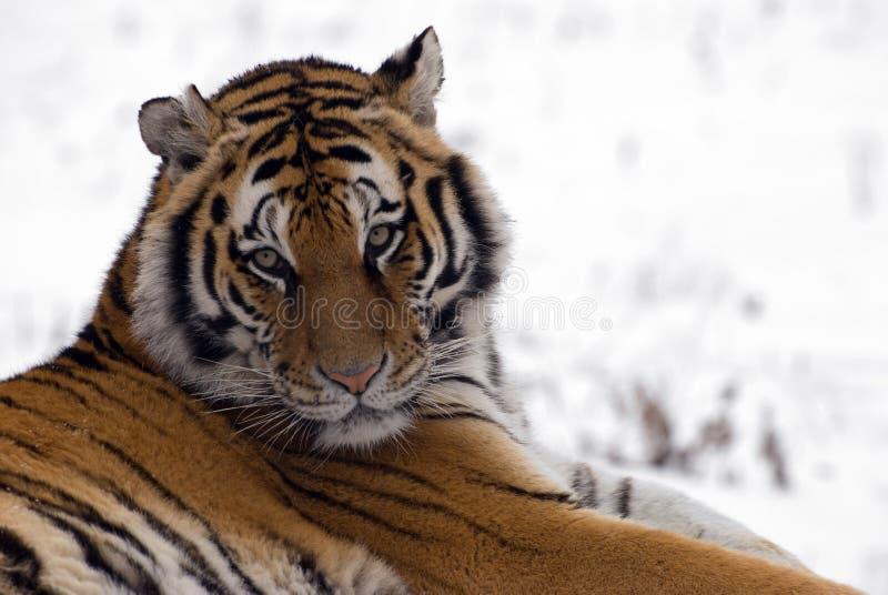 Fine siberiana della tigre in su immagine stock