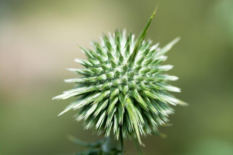 Fine spinosa selvaggia del fiore sulla macro fotografia stock libera da diritti