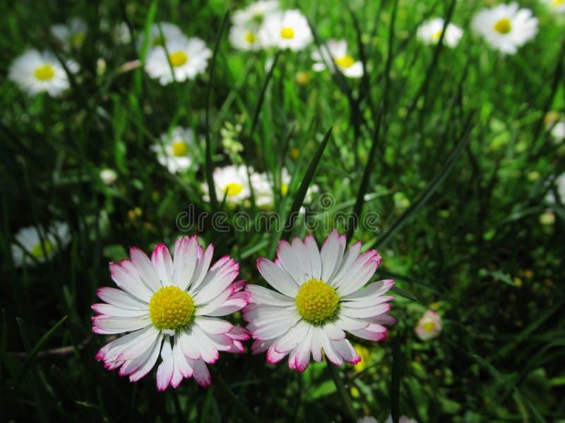 Fine splendida & luminosa su Daisy Flowers Blossom In Springtime comune bianca & rosa 2019 immagini stock libere da diritti