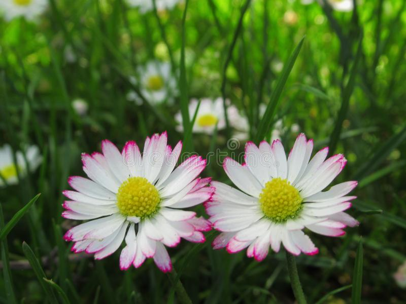 Fine splendida & luminosa su Daisy Flowers Blossom In Springtime comune bianca & rosa 2019 fotografie stock libere da diritti