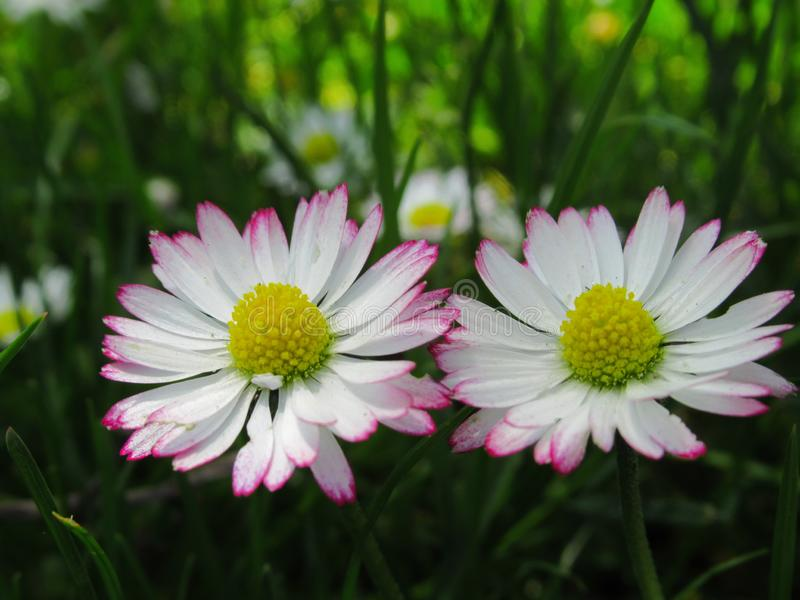 Fine splendida & luminosa su Daisy Flowers Blossom In Springtime comune bianca & rosa 2019 immagine stock libera da diritti
