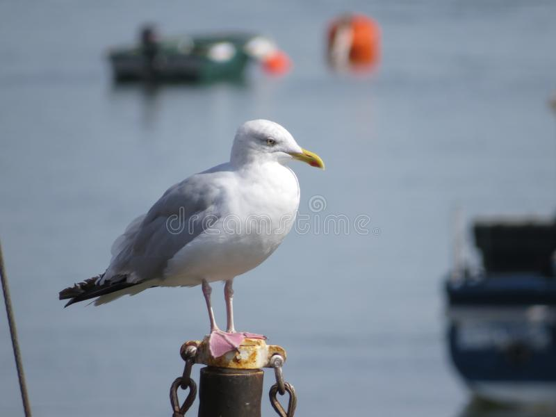 Herring Gull at Borth y Gest near Porthmadog, North Wales. This fine study of an Herring Gull alongside the Harbour at Borth y Gest was a pleasure to behold, it stock photography