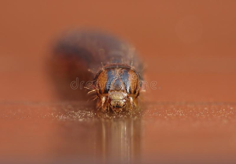 Fine su Caterpillar con Brown ed i modelli neri immagine stock libera da diritti