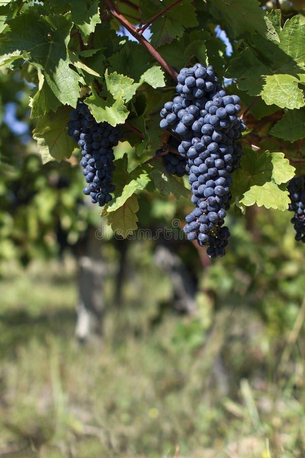 Fine su dell'uva rossa matura pronta per il raccolto di autunno fotografia stock libera da diritti