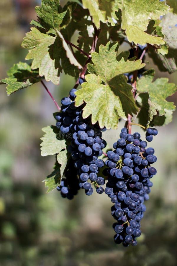 Fine su dell'uva rossa matura pronta per il raccolto di autunno fotografie stock libere da diritti