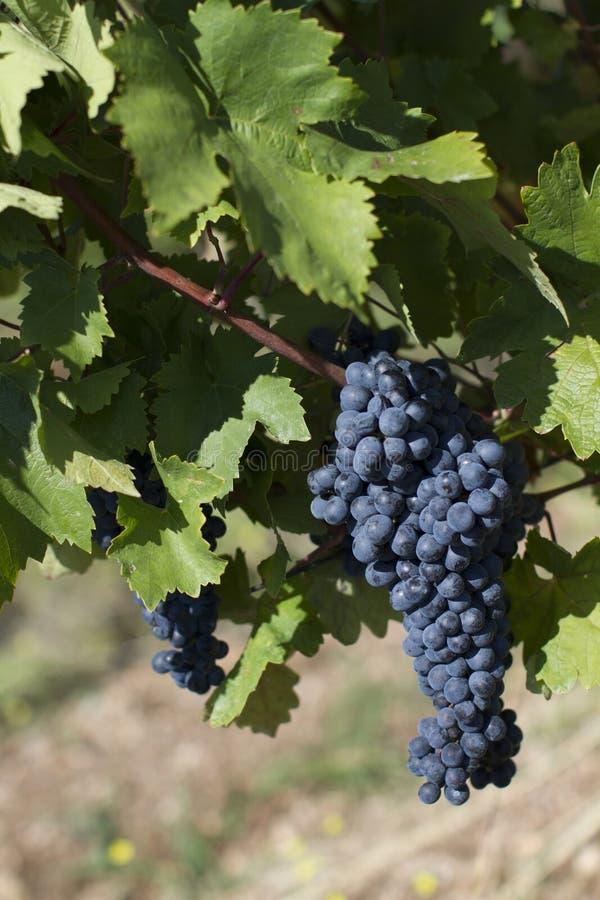Fine su dell'uva rossa matura pronta per il raccolto di autunno fotografia stock