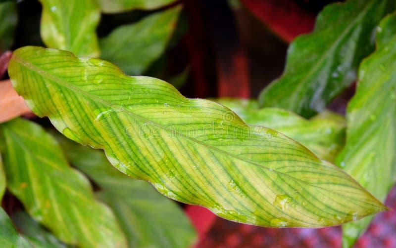 Fine su delle foglie verdi di Billbergia - fondo naturale astratto del modello dell'ambiente di struttura fotografia stock