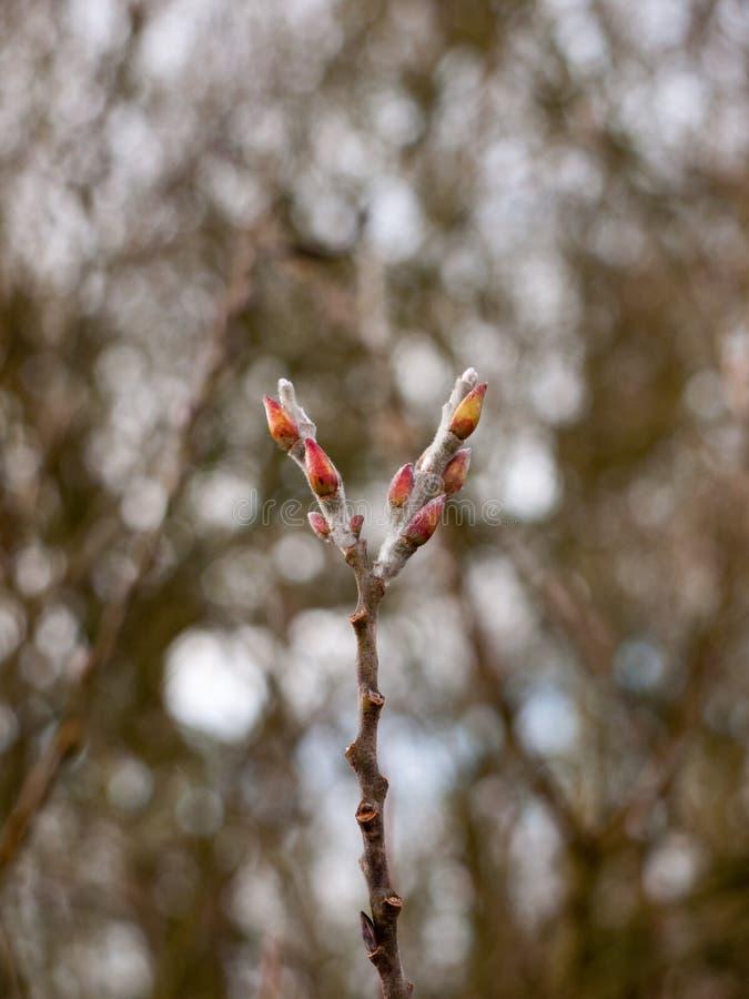 fine su di due punte germoglianti dell'albero nell'inverno fotografia stock