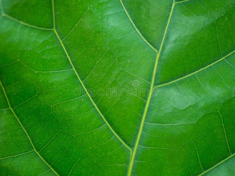 Fine su struttura verde dello sfondo naturale della foglia fotografie stock