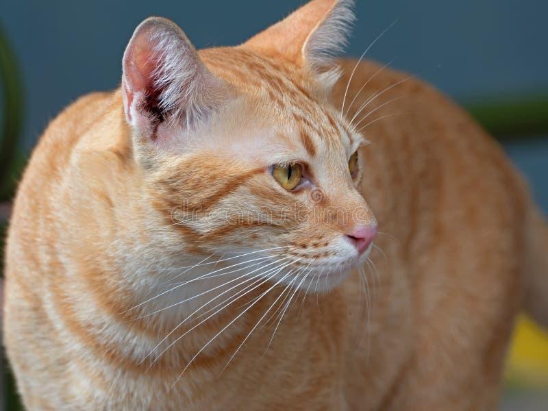 Fine su Tabby Cat arancio su fondo immagine stock