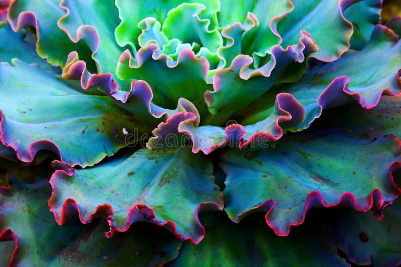Fine succulente della pianta degli arricciamenti operati di Echeveria su fotografia stock