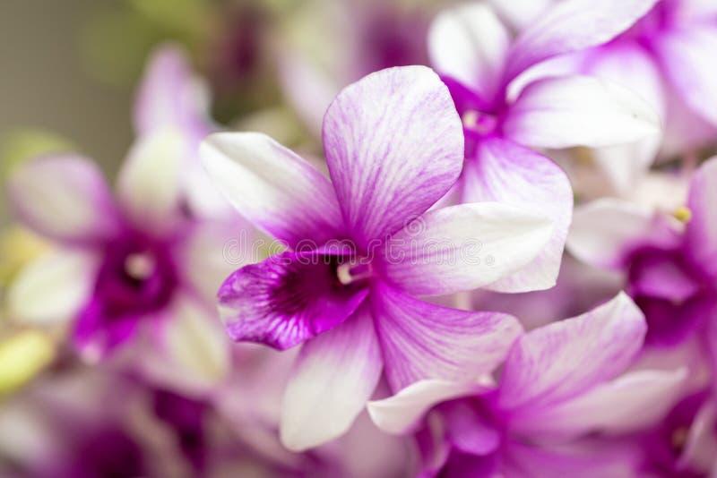 Fine sugli ibridi dell'orchidea del Dendrobium nel giardino Bella orchidea porpora del fuoco selettivo fotografie stock libere da diritti